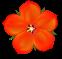"""Anagallis arvensis, även kallad rödmire, också känd som """"scarlet pimpernel""""."""